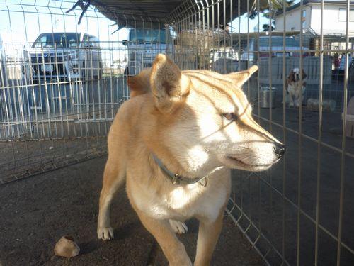 保護犬ふじちゃん
